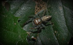 Opisthoncus sp. (dustaway) Tags: nature rainforest australia nsw arthropoda rotarypark arachnida lismore australianwildlife araneae jumpingspiders salticidae araneomorphae australianspiders northernrivers opisthoncus