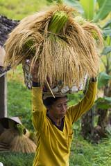 sawah 17 (Fakhri Anindita) Tags: bali nature field indonesia landscape photography nikon farm ubud sawah jatiluwih