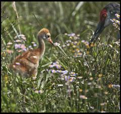 Sandhill Cranes 2016 #21 (hamsiksa) Tags: birds wings feeding florida feathers cranes breeding adults deland sandhillcranes rearing gruscanadensis gruidae volusiacounty lakewoodruffnationalwildliferefugechicks