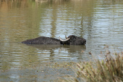 Water Buffalo---Bubalus bubalis (creaturesnapper) Tags: europe greece mammals waterbuffalo kerkini bubalusbubalis