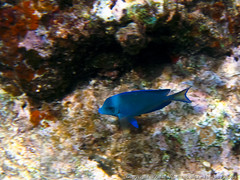 Blue Tang (3scapePhotos) Tags: travel blue sea vacation island islands sailing underwater virgin tropical british caribbean tropics tang bvi britishvirginislands normanisland
