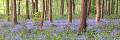Bluebell Pano - Night (matrobinsonphoto) Tags: wood blue trees light sunset panorama sun sunlight beautiful bluebells night forest woodland golden countryside focus view bokeh dusk pano panoramic hour dunnington hagg ryside