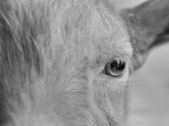 144 : 366 (grongar) Tags: eye goat ephraim buck guernsey