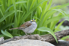 White-throated Sparrow (featherweight2009) Tags: birds sparrows whitethroatedsparrow zonotrichiaalbicollis songbirds