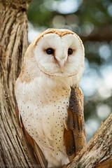 Barn owl and bokeh (kevinkdickinson) Tags: bird nature birds bokeh wildlife ngc birding owl barnowl naturesphotos natureandphotography