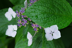 20160527_DSC00050 (NAMARA EXPRESS) Tags: street plant flower color rain japan leaf cloudy sony sigma osaka hydrangea 60mm f28 raindrop toyonaka dn nex5 namaraexp