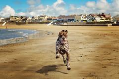 happy dog (explored 29/05/2016) (Sigita JP) Tags: dog playing action run