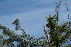The treetop () Tags: minolta sony af 100300mm f4556 slta57 57