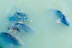 carps (Ebba_oBL) Tags: fish nikon carps d7000 sigma1750f28exdcos