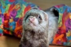 Miss Fufutte (pascal_roussy) Tags: animals ferret nikon animaux furet d3100