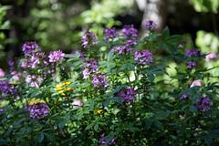 Cleome (Danielle_M_Bedics) Tags: summer nature purple descansogardens cleome flwoers spiderflower