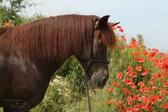 Pequi mag es bunt (D. Wolf (Expression-MyArt)) Tags: horse pferd pequeno pasoperuano