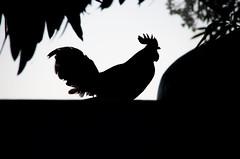 Gallo a contraluz (Miquel Gomis) Tags: chicken animals contraluz gallo aves animales