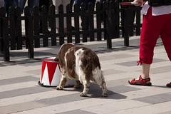 Fristadstorget 22 juni 2016 (Yvonne L Sweden) Tags: dog dogs freestyle sweden hund springerspaniel arlo eskilstuna hundar 160622 fristadstorget hundshow sommartorget