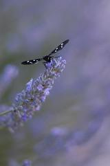 Zygaena ephialtes on lavender (Andrea Lugli) Tags: canon butterfly eos sigma farfalla zygaena 18250 450d