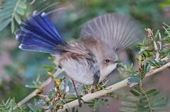 Take-off 028 (DMT@YLOR) Tags: blue tree male bird leaves leaf wings branch superb flight feathers australia twig queensland wren flap ipswich swich fairywren goodna caleandra