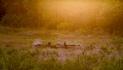 Living The Good LIfe (Moments Made Timeless) Tags: rake farm field goldenlight goldenhour landscape scenery outdoors nature farmlife sunset grassland