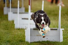 DSC_4050 (TDG-77) Tags: dog pet dogs animal nikon running d750 nikkor f28 flyball chasing 70200mm unleashed vrii