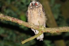 IMG_1004 Ransuil Jong Juvenile (gipukan (rob gipman)) Tags: netherlands canon flash 7d owl juvenile jong uil canon300f4is