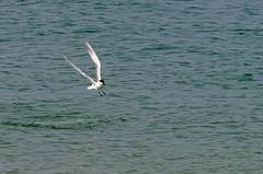 Common Tern on Southampton Water (David Blandford photography) Tags: hampshire solent common tern calshot southamptonwater calshotbeach