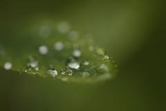 bokeh 180/365 (#christopher#) Tags: plant water rain droplets bokeh depthoffield foliage