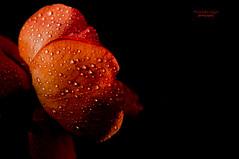 ~  ~ (mariola aga ~ vacatiON) Tags: chicagobotanicgarden glencoe garden flower rose waterdrops macro closeup blackbackground thegalaxy