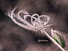 Stunning Nature (haidarism (Ahmed Alhaidari)) Tags: silver grass flower bud plant bokeh outdoor nature depthoffield sonya65 macro macrophotography green leaf ngc art artistic create creation creative