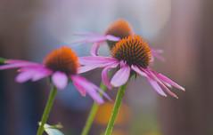 The Garden (gupouk) Tags: flower beauty beautiful macro bokeh closeup pink purple green