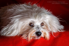 Little Prince (buchsammy) Tags: red dog pet rot animal canon germany deutschland klein europa hund ralf bichon mika fell haustier tier teppich havanese liegen 2015 weis brav bitzer sugetier studioaufnahme langhaar hfingen vierbeiner havaneser haushund besterfreund havanais bichonhavanais buchsammy hufingen canoneos5dmark3 ralfbitzerphotography ralfbitzerphotographygmailcom