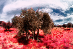 Oliviers-et-herbes-rouges (RS...) Tags: provence lesbaux oliviers fauxinfrared d7100 herberouge valledesbaux