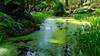 Almost Covered (Nancy D. Regan) Tags: pond azolla odc waterfern rhododendronspeciesfoundationandbotanicalgarden