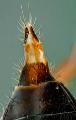 Rove Beetle Genitalia or Ovipositor 20150410-rovebeetele-ovipos-s10-9x-n180-DMAP-ret2048 (maxrockbin) Tags: macro insect beetle arthropod genitalia ovipositor rovebeetle correcttokyoseiwamplanapo10x