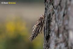 Bagworm V (Dom Greves) Tags: uk woodland insect spring wildlife moth case surrey lepidoptera caterpillar camouflage april pupa larva invertebrate bagworm heathland behaviour psychidae acanthopsycheatra