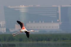 Flamingo-in-flight (Ravi Kappagantula) Tags: canon eos mark 400 l f56 1ds ef 14x usmcanon iiicanon iiicanoncanon iipallikaranai marshbirdsmay2015ravi kappagantula