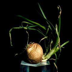 onion sprout (pixiebat) Tags: onion stilllife martimills pixiebat crystal light blackbackground vegetable sprouting spring life rebirth food 5dmkii pretty eating southwest santafe newmexico