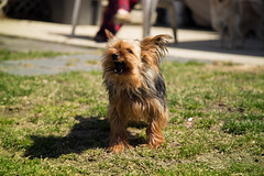 (M.Ewing) Tags: dog mike yorkie digital canon puppy lens photography eos photo adobe l ewing lightroom 6d 24105mm