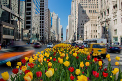 Fig. 1, A Chicago Spring (aerojad) Tags: longexposure flowers chicago flower skyline skyscraper spring bestof skyscrapers traffic tulips tulip michiganavenue magmile chicagoist daytimelongexposure