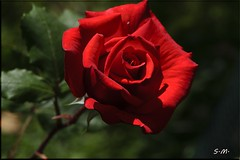 Rosa rossa (Laralucy) Tags: macro closeup bokeh ngc rosa natura npc fiore rosso coth5