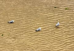 gulls at the beach (-j0n4s-) Tags: uk sea england color art english beach nature canon coast seaside sand flickr cornwall seagull gull 1855mm seabird coastpath 2015 beautifulearth j0n4s