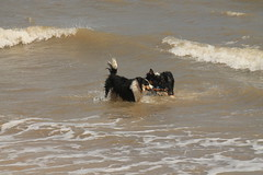 Stick Wrestling (sharongellyroo) Tags: beach seaside norfolk tommy bordercollie ki wintertononsea