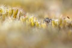 Aelurillus v-insignitus  (Tom Rop) Tags: macro nature animal canon spider jumping bokeh sigma araigne arachnida araneae 105mm arachnide salticidae 600d araneomorphae sauteuse saltique aelurillus vinsignitus