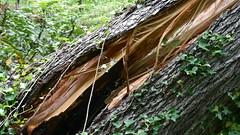 DSCN1423 (VerlynC) Tags: tree falling hickory