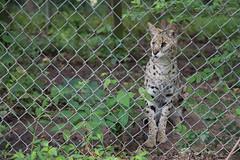 Elvis, a serval (whereisjulie?) Tags: rescue tiger lion carolina cougar ocelot serval caracal kinkajou