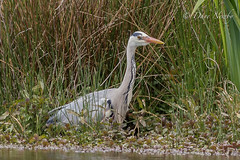 Heron, what's for tea (davenewby123) Tags: sea white bird heron water animal unitedkingdom crane outdoor serene aquatic reverse egret maisie seabirds wirral riverdee wildbirds