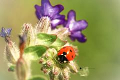 Marienkfer (isabelle.kerstof) Tags: flower macro canon spring ladybird makro frhling marienkfer makrofotografie canon70d