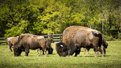 Bisons (flutalute) Tags: ranch buffalo bisons corne troupeau ouest