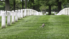 Squirrel in Arlington (Lawrence OP) Tags: green cemetery arlington squirrel graves nationalcemetery