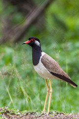 Red-wattled Lapwing (hisham_halipah) Tags: nature field grass wildlife ground lapwing wildbird