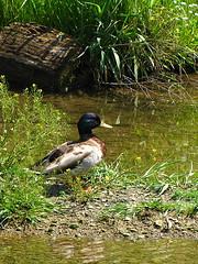 Mallard Duck at Ohio State Newark (thatSandygirl) Tags: ohio green bird nature animal creek river outdoors duck natural state outdoor may mallard newark aquatic waterfowl