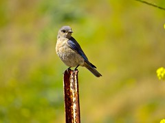 Bluebird? (morroelsie) Tags: morrobay bluebird centralcoast cloisters westernbluebird centralcoastbirds morroelsie